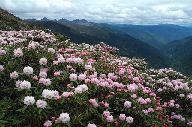 杜鹃花盛开时节,纷繁的色彩把山峦装点得瑰丽艳美,与巍峨的白马雪山形