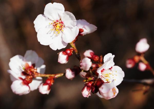 桃花已开笑春风 来香格里拉赴一场 三生三世 的约会吧