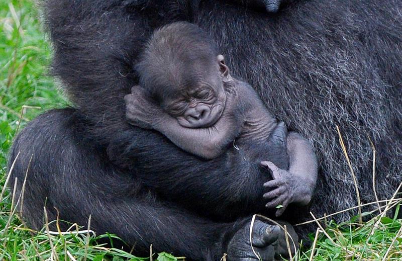 英动物园稀有猩猩降生 或促进同种繁殖