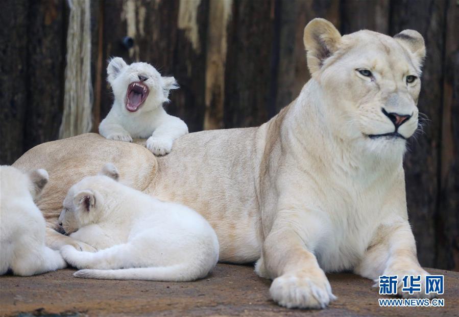 3月2日,在德国的马格德堡动物园,一只白狮妈妈照看着它的幼崽.