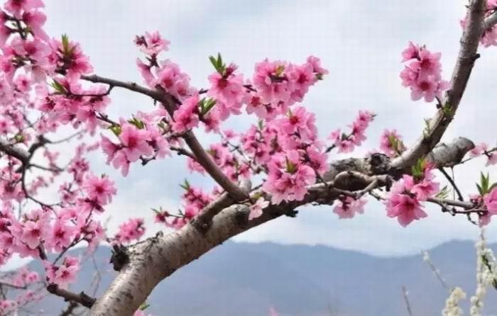 第九届桃花节将于3月18日启幕 万亩桃花争奇斗艳等您来赏