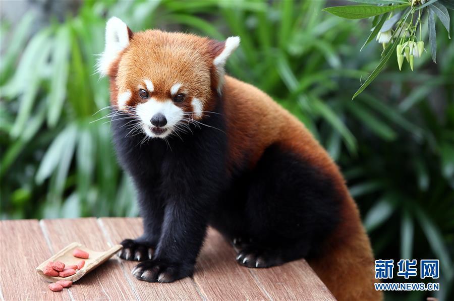 一只小熊猫在香港海洋公园亚洲qq怎么弄指定红包天地准备享用高纤饼干.