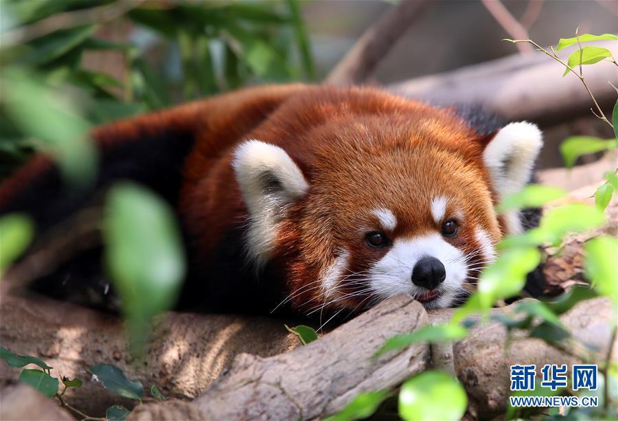 一只小熊猫在香港海洋公园亚洲qq怎么弄指定红包天地享用美餐后休息.