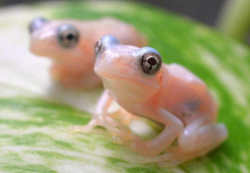 日本透明蝌蚪长成青蛙 身体粉白可见内脏