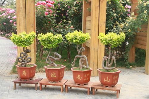 以及树状,古桩,玫瑰,礼品月季等具有自主知识产权的系列产品.